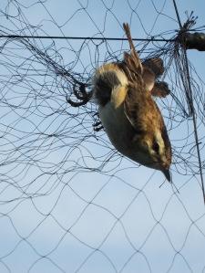 bird in net
