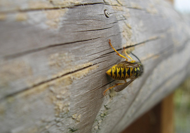 Wasp chewing on wooden fence