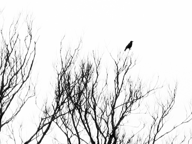 intermittent alarms from a solitary crow