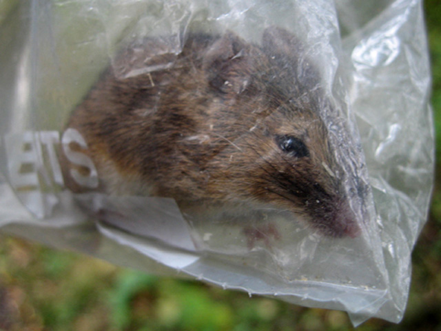 small mammal survey: sebastiane hegarty